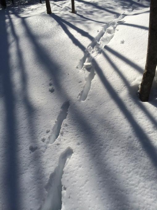 030715 deer tracks
