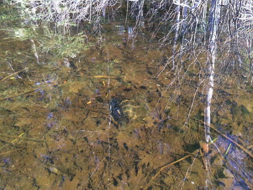 041215 turtle underwater