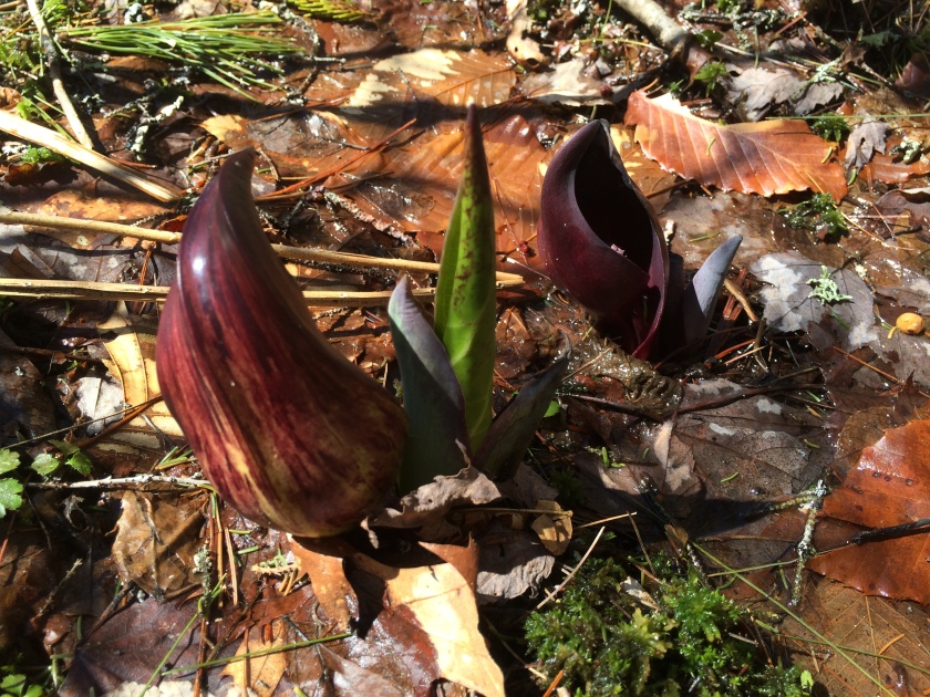 041915 skunk cabbage